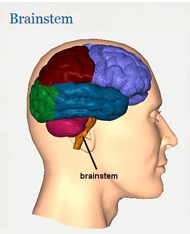 brain-stem-em