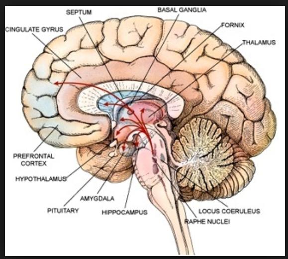 harvard brain septum umpqua