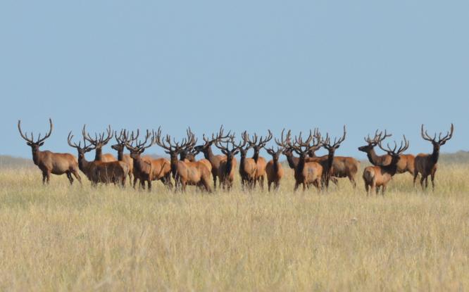 herd of elk evolution